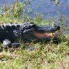 【マイアミ】エバーグレーズ国立公園 シャークバレーでアリゲーターを見よう!